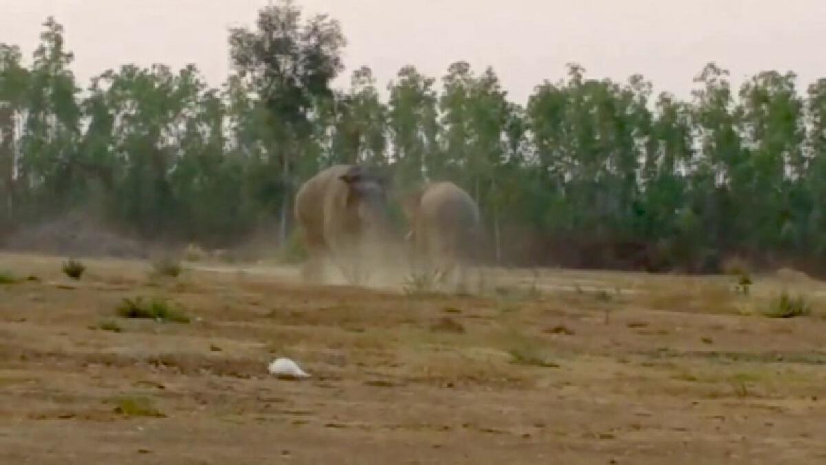 หาดูยาก คลิประทึกช้างป่าสีดอปะทะช้างหนุ่มตกมันกลางชุมชนหมู่บ้านคลองมะหาด
