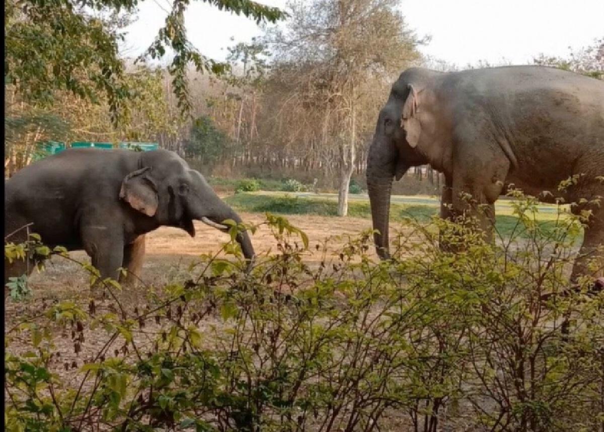 ปะทะยกที่ 2 'เจ้าสิบล้อ' ช้างพังสีดอ - 'เจ้าแข็งแกร่ง' ช้างหนุ่มตกมัน ได้แผลทั้งคู่