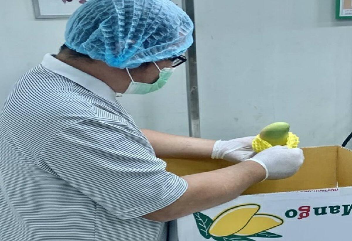 ไทยเฮเกาหลีใต้ไฟเขียวไทยส่งออกมะม่วงมหาชนกครั้งแรกของประเทศ