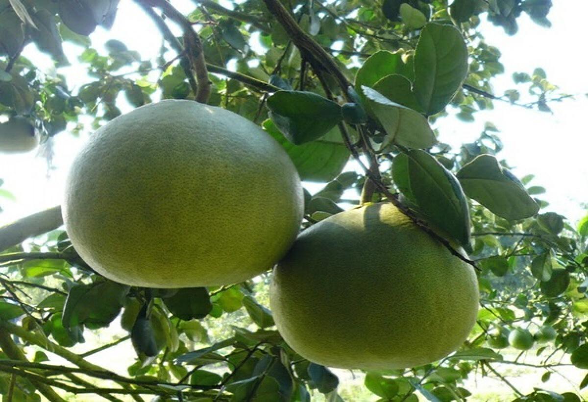 อธิบดีเกษตรฯ รุดพบผู้ว่าพิจิตรวางมาตรการปราบส้มโอลักลอบนำเข้าไทย