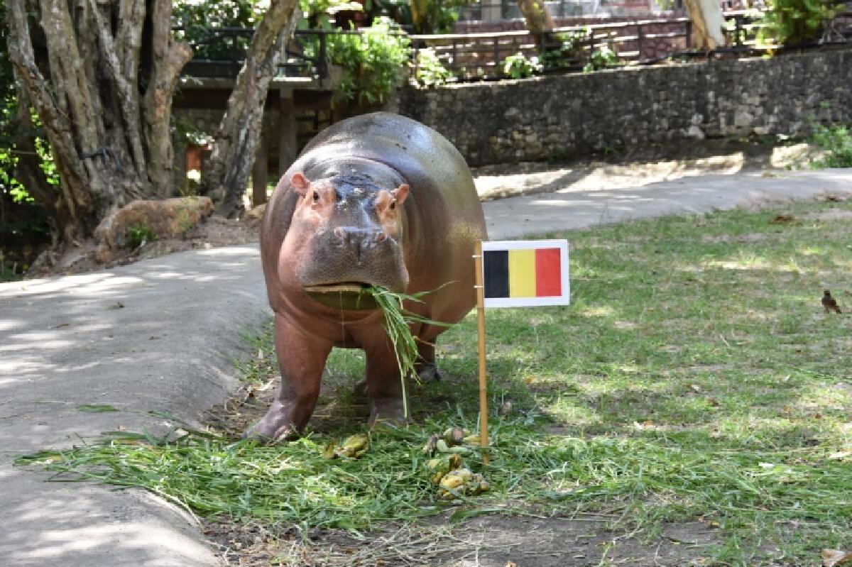 """ฮิปโปแสนรู้ """"เจ้าขาหมู"""" สวนสัตว์เปิดเขาเขียว ฟันฉับ ทายเบลเยียม เบียดอิตาลี เข้ารอบ"""