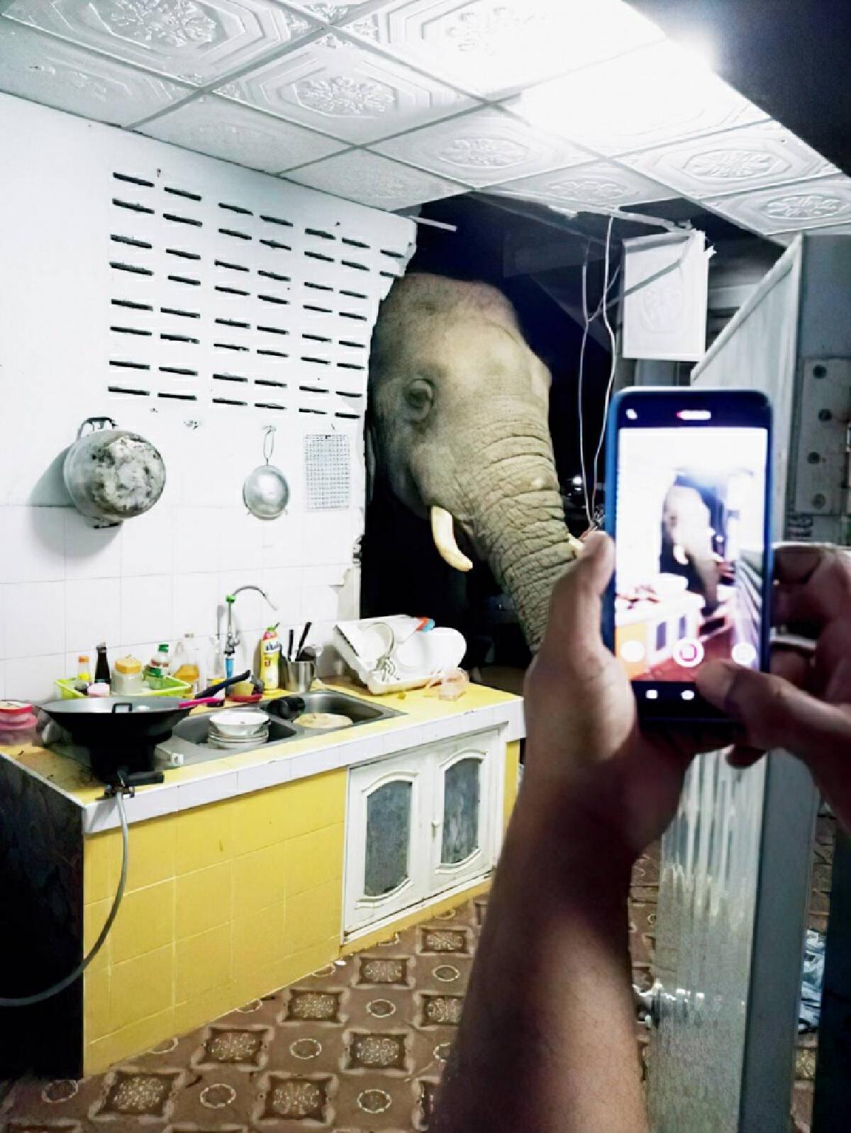 """มาอีกแล้ว """"พลายบุญช่วย"""" ช้างป่าละอู ไม่รู้ติดใจอะไร กลับมาบ้านหลังเดิมพังห้องครัวรื้อหาของกิน"""