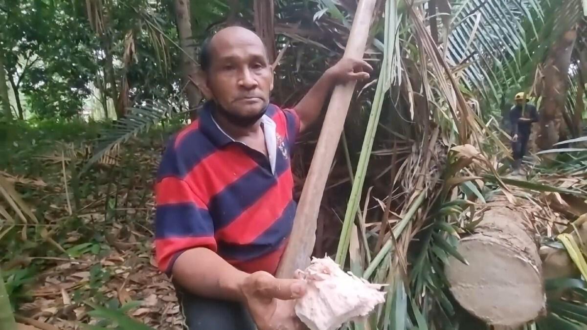 บังเหล๊าะ ชาว อ.ละงู จ.สตูล ทำอาชีพนักล่าต้นสาคู