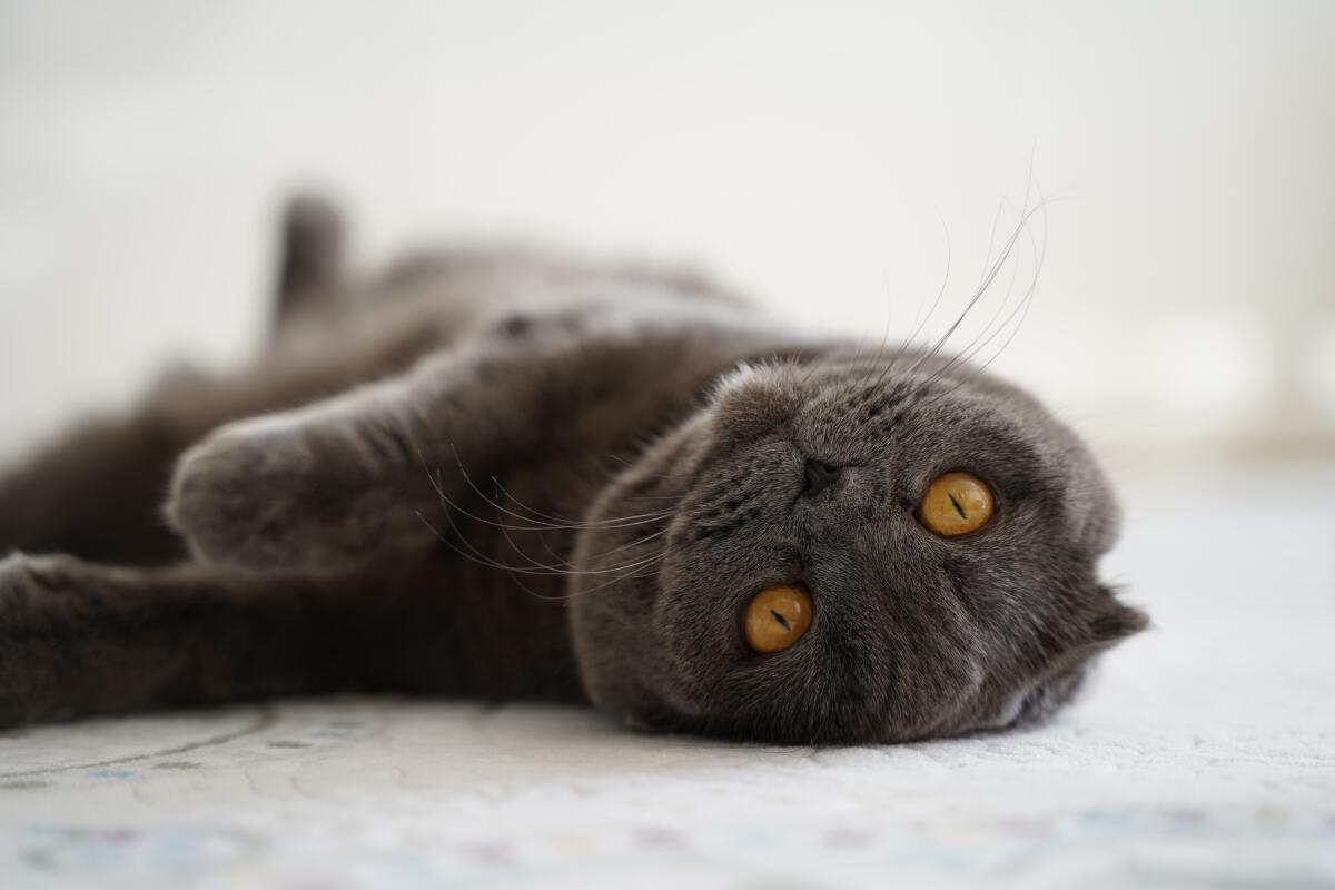 """รู้จัก """"แมว"""" สก็อตติชโฟลด์ เลี้ยงยาก สุขภาพไม่ดี ห้ามผสมพันธุ์ จริงหรือ"""