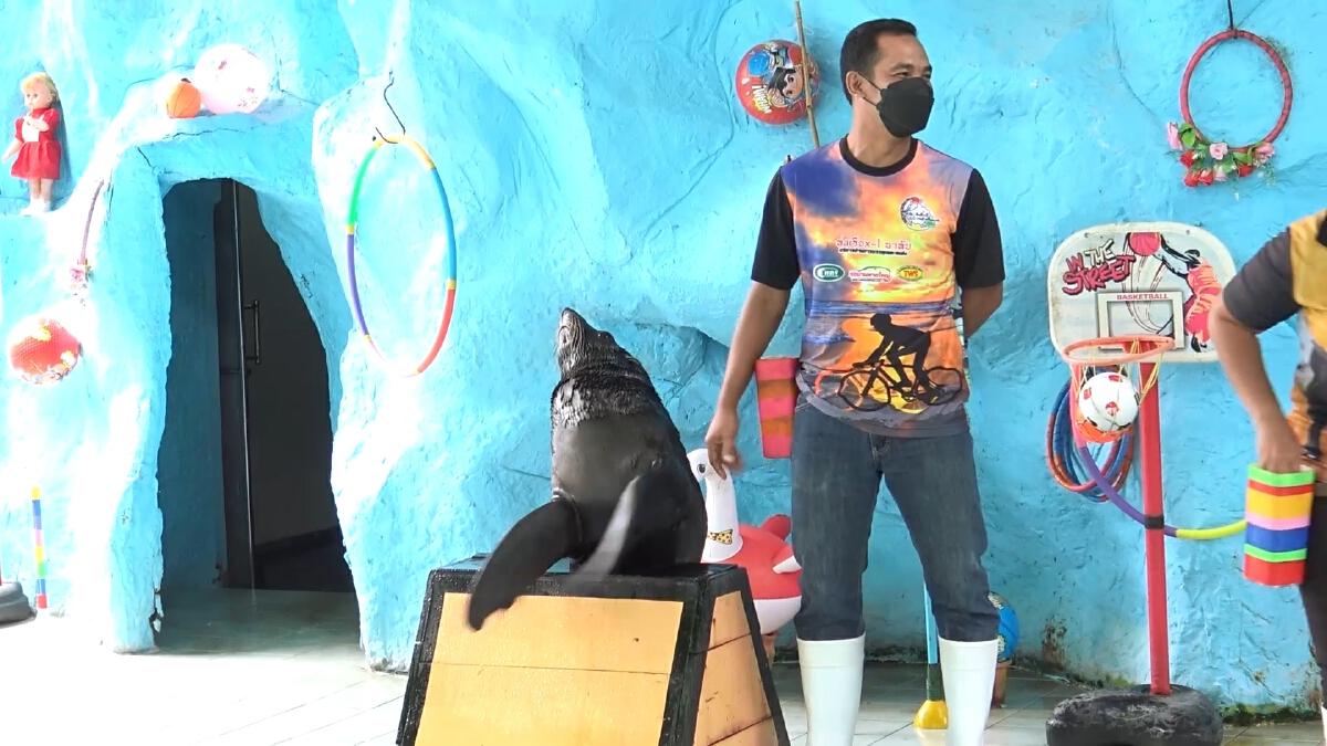 """""""แมวน้ำ"""" เล่นวอลเลย์บอล โชว์ใหม่ของสวนสัตว์สงขลา"""