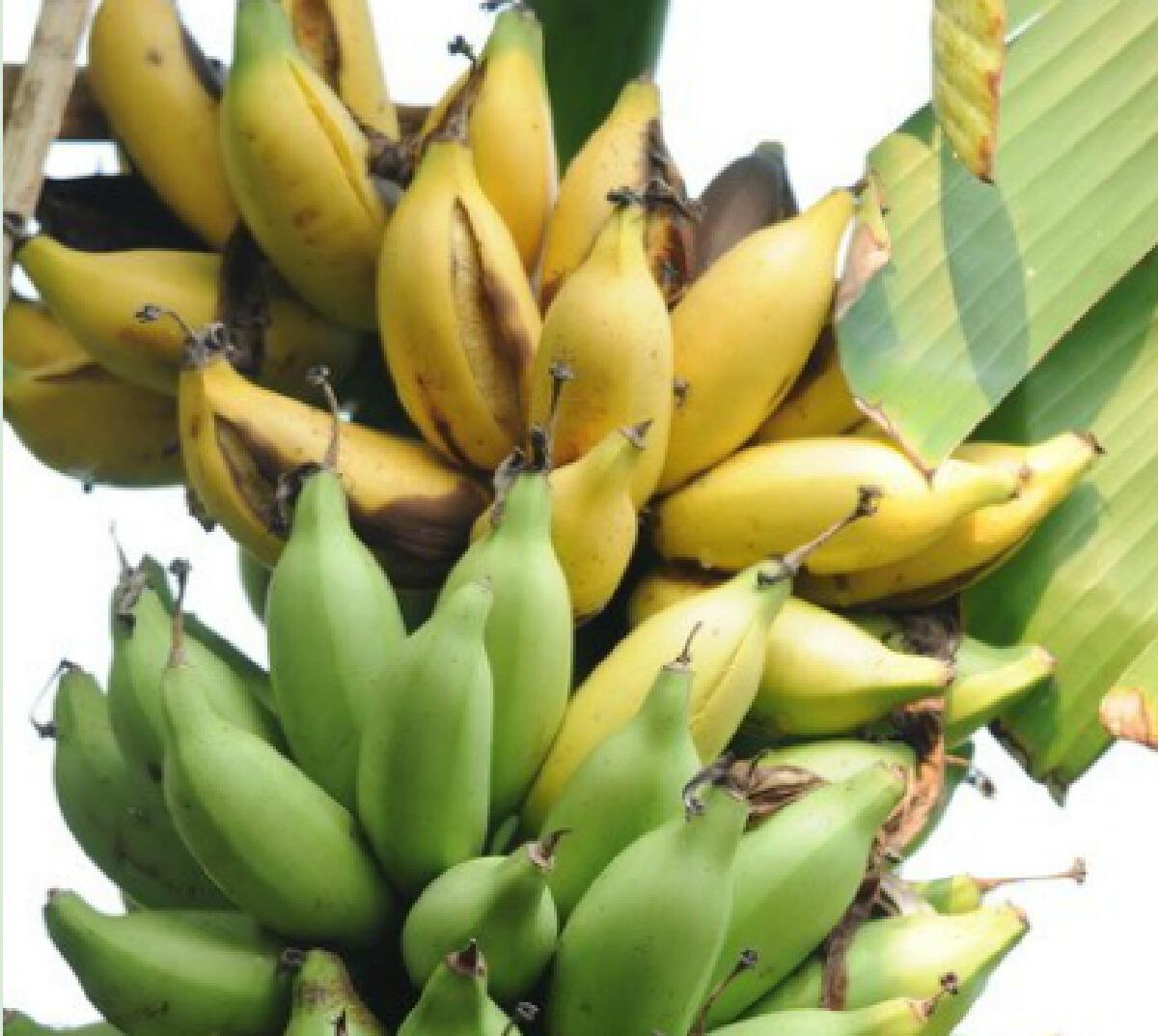 """""""กล้วยนมสาว"""" รสอร่อยลงตัวเหมือนกล้วยหอมผสมกล้วยไข่"""