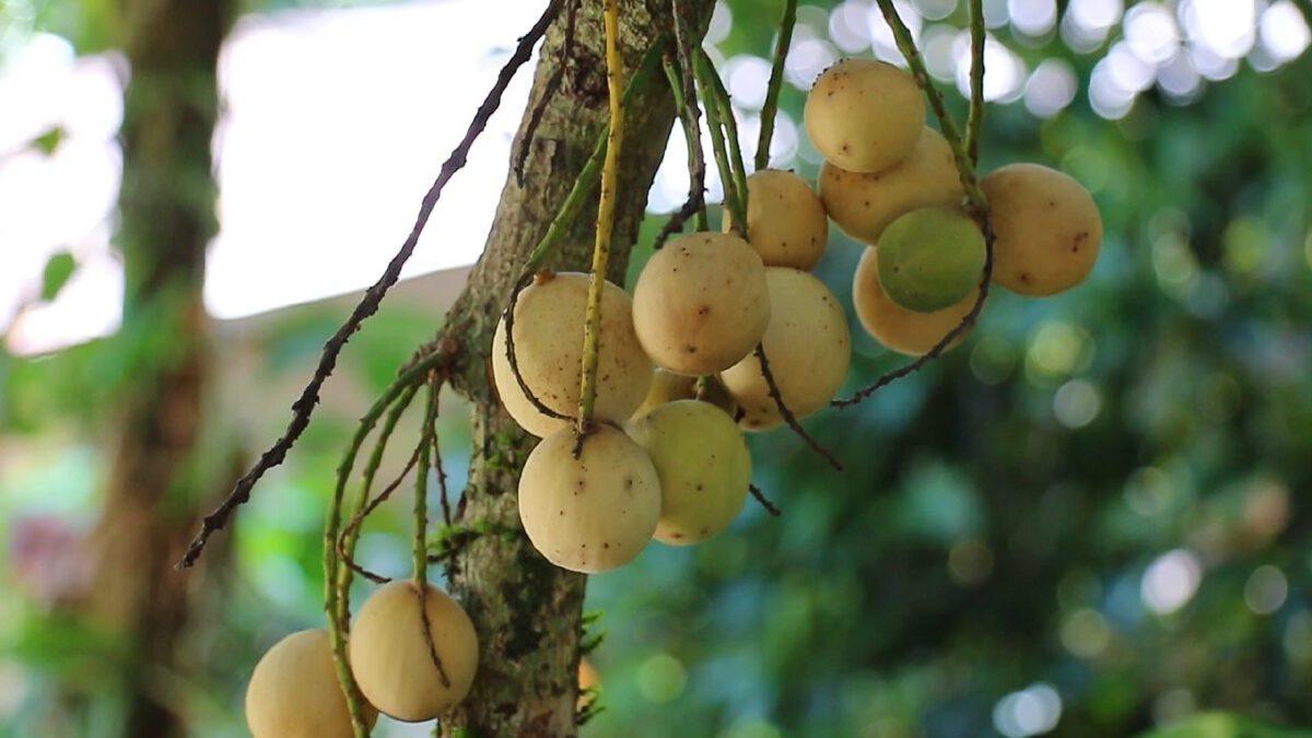 """""""มะละกะ"""" ผลไม้หายากชื่อเหมือนมะละกอ แต่หน้าตาคล้ายลองกองและลางสาด"""