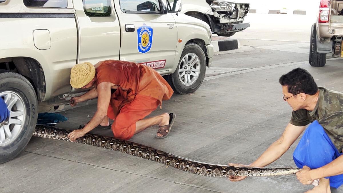 """ส่องทะเบียน """"เลขเด็ดงวดนี้ 16/10/64"""" งูเหลือมยักษ์ มุดรถ ไล่จับชุลมุน (คลิป)"""