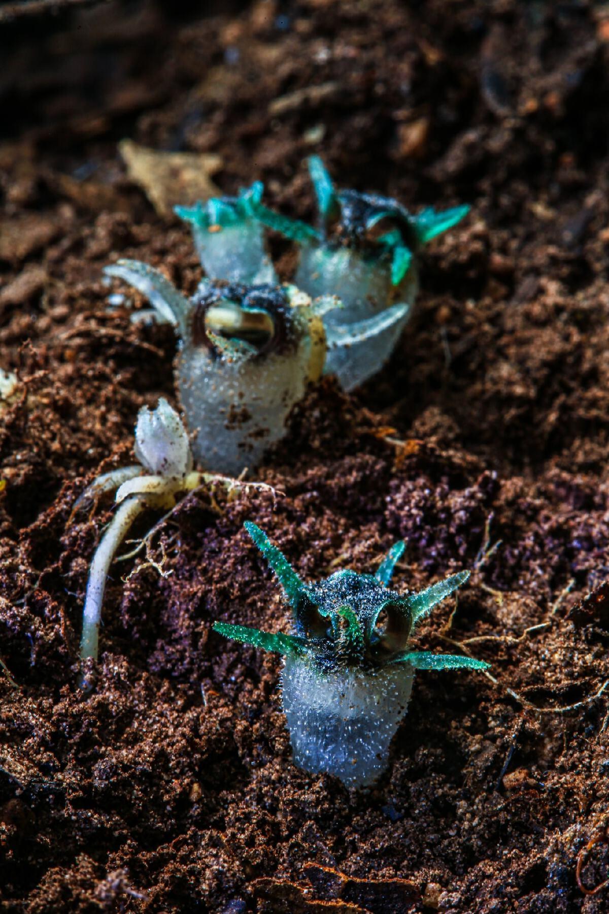 """รู้จักยัง """"พิศวงไทยทอง"""" พืชพิศวง พรรณไม้ชนิดใหม่ของโลก"""