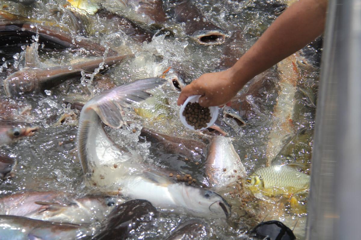"""หน้า """"วัดพนัญเชิงฯ"""" น้ำลด นทท.เดินลงให้อาหารปลา แบบสัมผัสถึงปาก"""