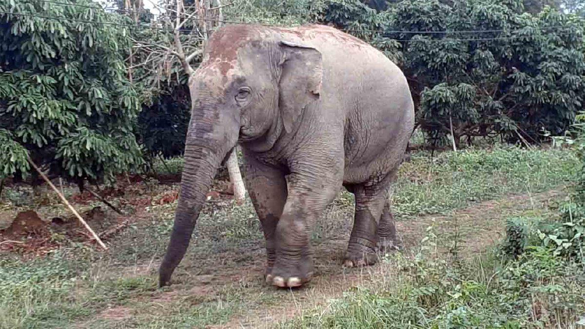 """""""ช้างป่าอินดี้"""" พังรั้วไฟฟ้าสถานกักกัน ออกไปเดินเล่นในป่าลึก (มีคลิป)"""